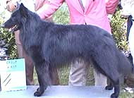 photo of a belgian sheepdog