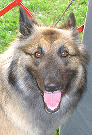 photo of a belgian tervuren dog