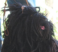 photo of a puli dog