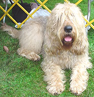 adult otterhound dog
