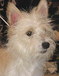 photo of portuguese podengo pequeno dog