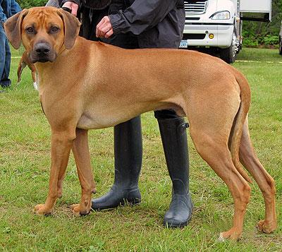 Dog Breeds Norwegian Ridgeback