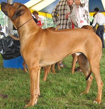 red wheaten rhodesian ridgeback dog