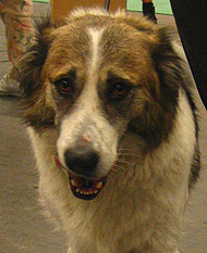 Aidi Dog Molossoid Breed Dogs Online Dog Encyclopedia