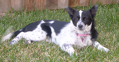 Border Collie Blue Heeler