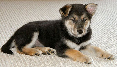 Siberian Husky German Shepherd mixed breed dog