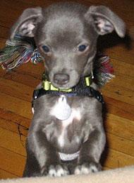 Chihuahua Italian Greyhound Mixed Breed Dog Online Dog