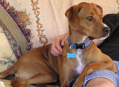 Dog Breeds Vizsla Problems