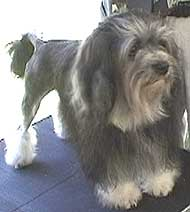 photo of a lowchen dog