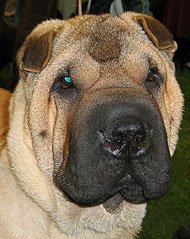 what a chinese sharpei dog looks like