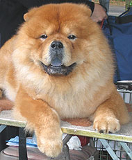 photo of chow chow dog