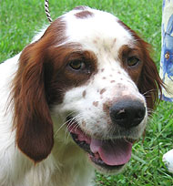 Irish Red and White Setter  Dog