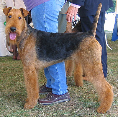 airedale terrier terrier dog  online dog encyclopedia  dogs in depth.com