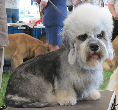 dandie dinmont terrier dog