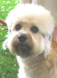 photo of a dandie dinmont dog