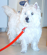 adult west highland white terrier dog