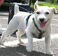 jack russell terrier puddin dog