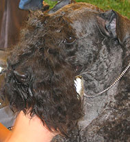 photo of a kerry blue terrier