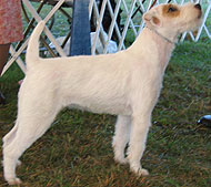 parson russell terrier dog