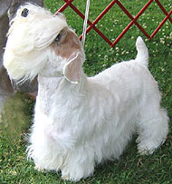 photo of sealyham terrier dog