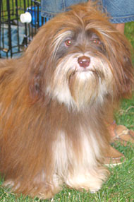 photo of a havanese dog