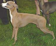 photo of an italian greyhound dog
