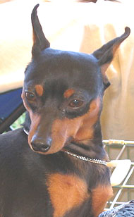 photo of a miniature pinscher dog