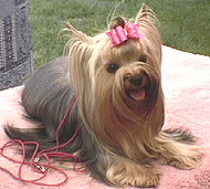 photo of a yorkshire terrier dog