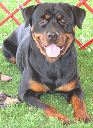 photo of a rottweiler dog