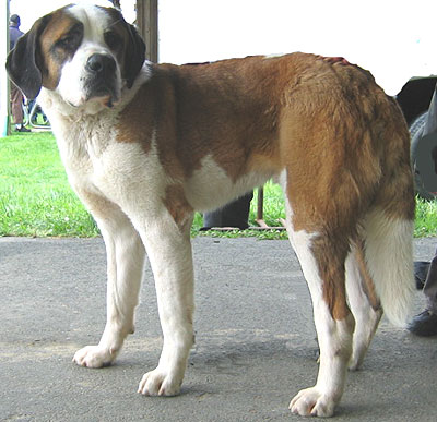 shorthaired saint bernard
