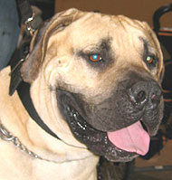 South African Boerboel dog